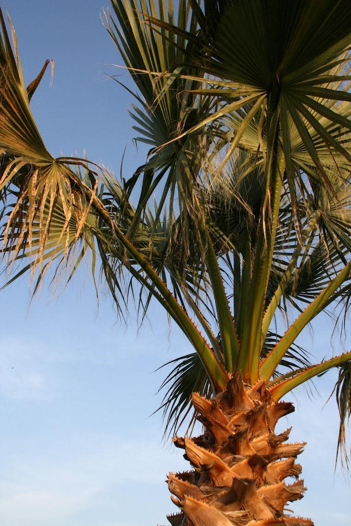 Palm Trees More Than A Symbol Of The Tropics Naturally North Idaho