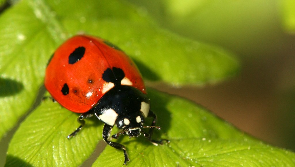 Ladybugs are a gardner's friend