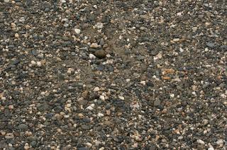 Arctic Tern Egg