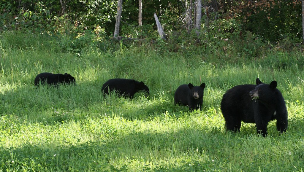 Color can be deceiving when it comes to bears
