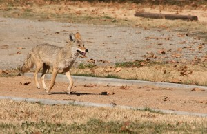 Coyote trotting down path in a California RV park.