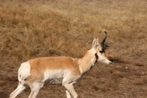 Pronghorn antelope shed the horn's keratinized sheath every year