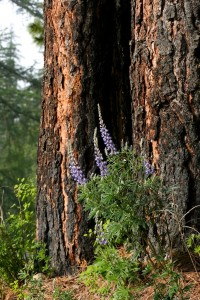 The thick bark on a ponderosa pine protects the tree's living tissues from fire.