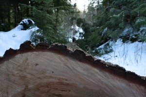 Bark is only a few inches thick on a grand fir over 150 years old.
