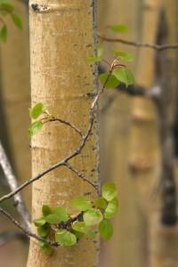 Young aspen tree