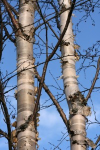 Bark peeling off birch trees.