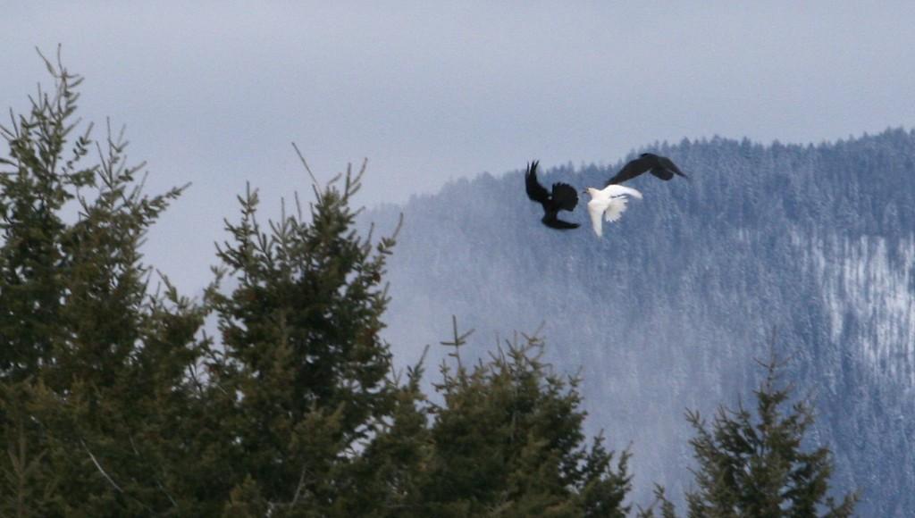 Rare white raven