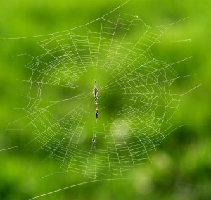 A spider waits in the middle of its web