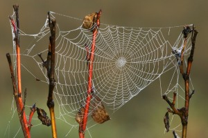 Dew and rain can't dissolve a spider's web because the silk is insoluble to water. However, the silk will absorb water and swell.
