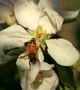 Worker bees collect all the pollen and nectar for the hive