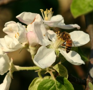 Worker bees use their tongues to slurp up nectar