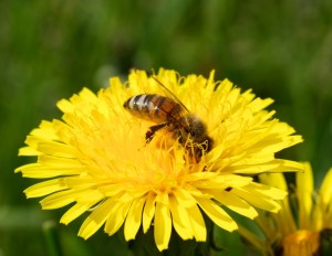 Honeybees have pollen baskets on their hind legs to carry pollen back to the hive