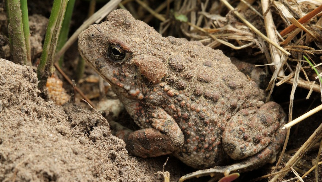 Toad warts not contagious, just toxic
