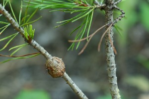 Gall on a lodgepole pine