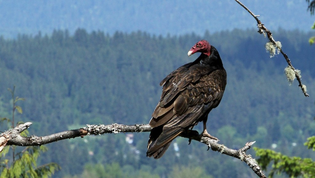 Turkey vultures picky eaters of rotten meat