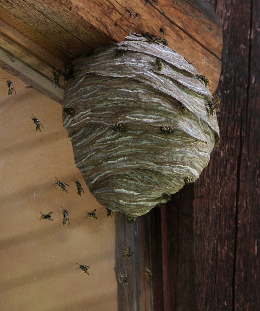 Wasps Prolific This Year With Dry Weather
