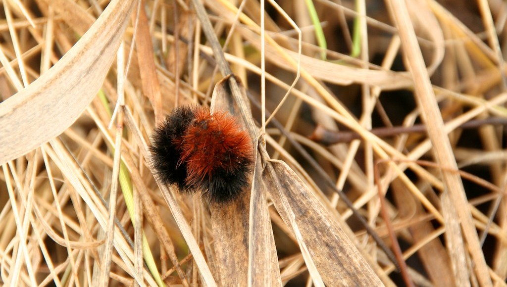 Can woolly bear caterpillars predict winter weather?