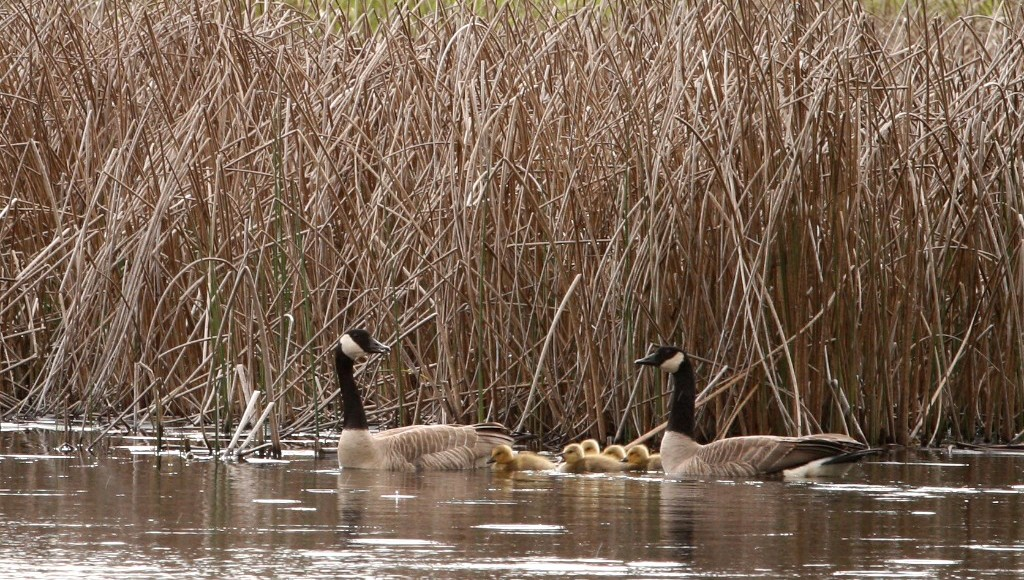 Canada geese can be migratory or residents
