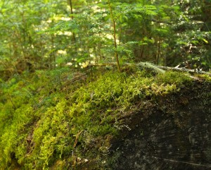 Moss holds in moisture and helps other organisms grow, like tree seedlings