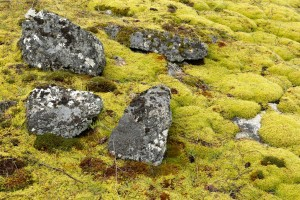 Carpets of moss act like giant sponges and soak up rain which reduces runoff and helps prevent flooding