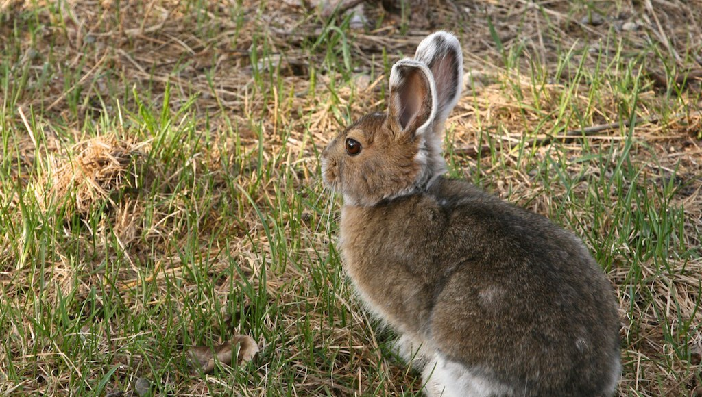 Molt, snowfall don't always coincide for snowshoe hares