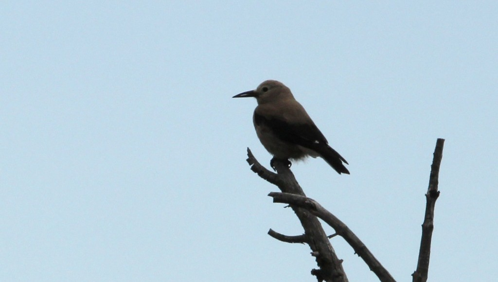 Caching allows early nesting for Clark's nutcracker