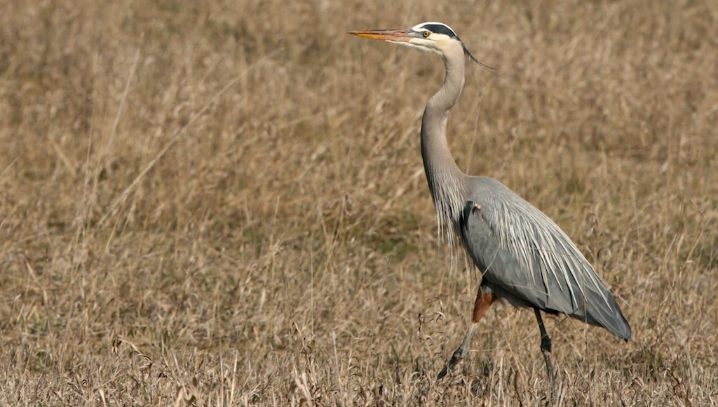 Great blue herons more than excellent fishers