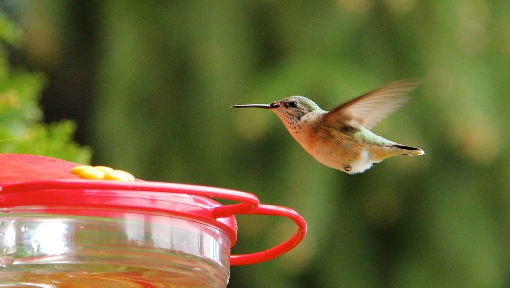 Hummingbirds feed on more than nectar