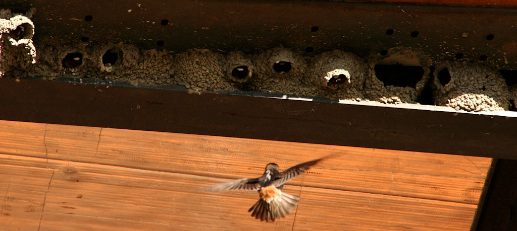 Swallows provide valuable insect control