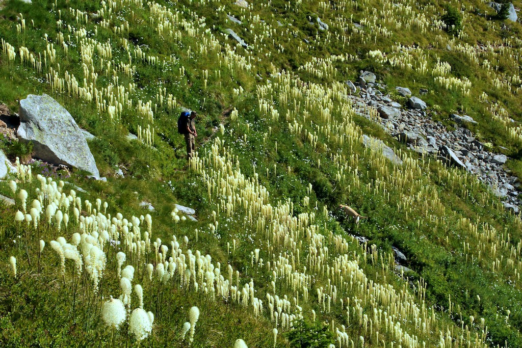 magnitude of beargrass blooms unpredictable � naturally