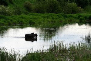 Moose cool down while foraging for aquatic plants
