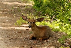 In addition to seeking shade to stay cool, mule deer lose heat through their large ears