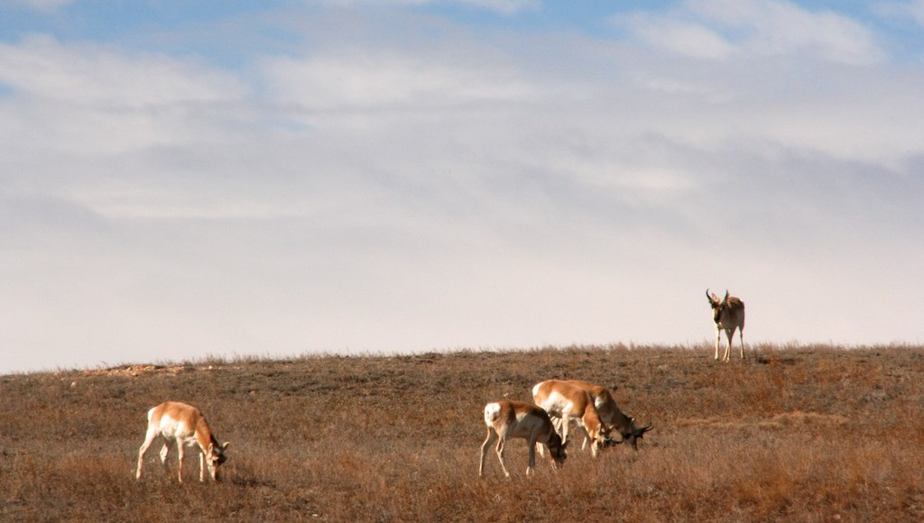 Pronghorn fastest land mammal in North America