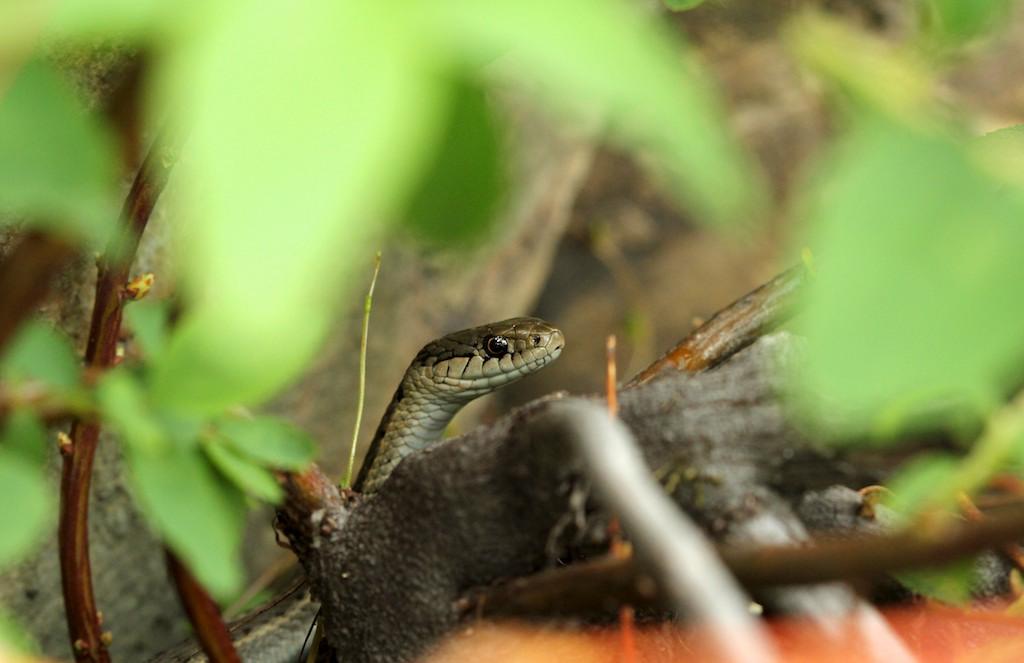 Garter snakes most common snake in Idaho – Naturally North Idaho