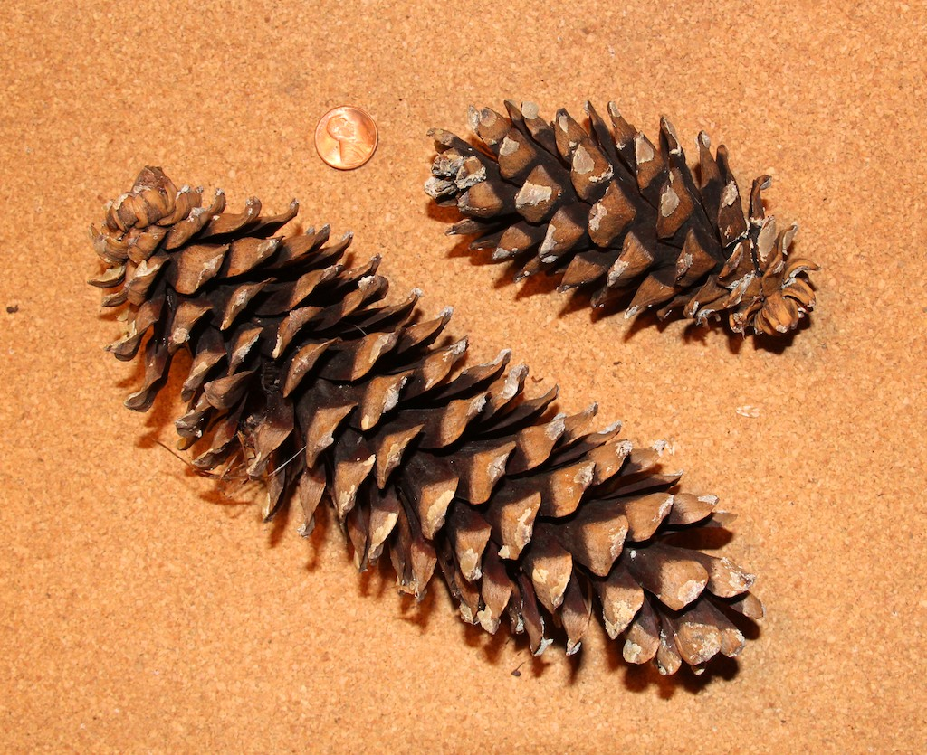 Do you know your cones naturally north idaho for Long pine cones