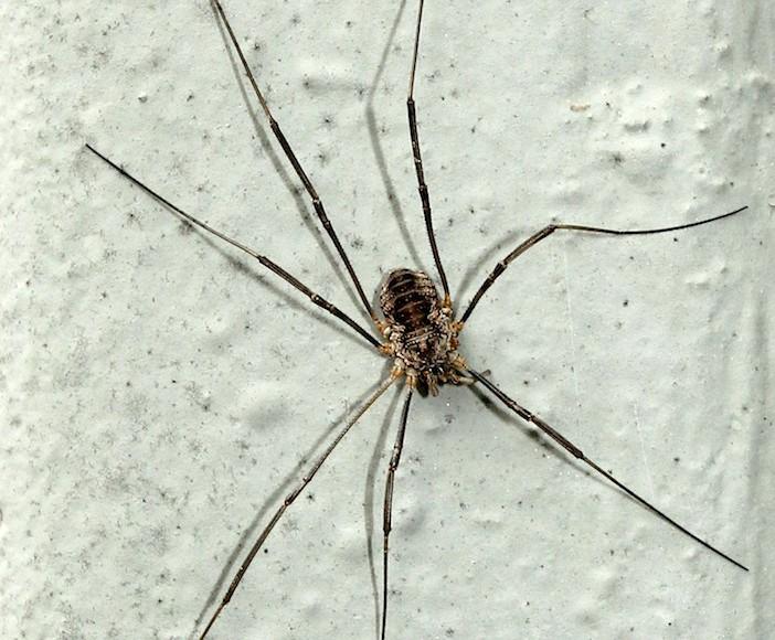 Daddy longlegs not spiders or venomous