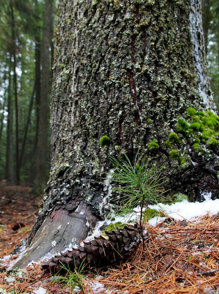 Mature white pine