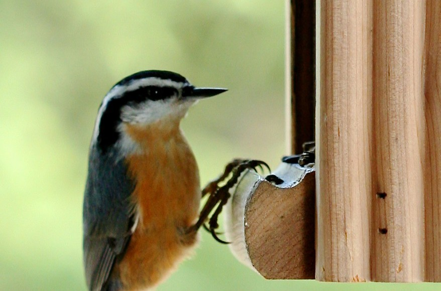 Nuthatches: The upside-down bird