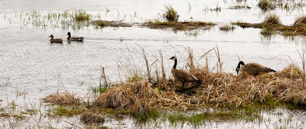 Duration of mates varies among waterfowl