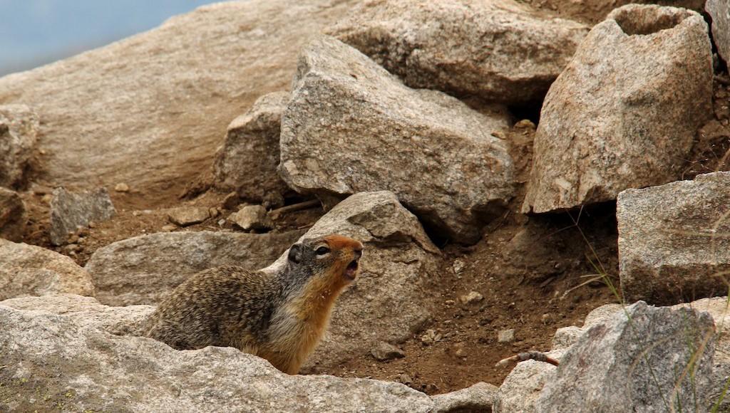 Columbian ground squirrels hibernate early