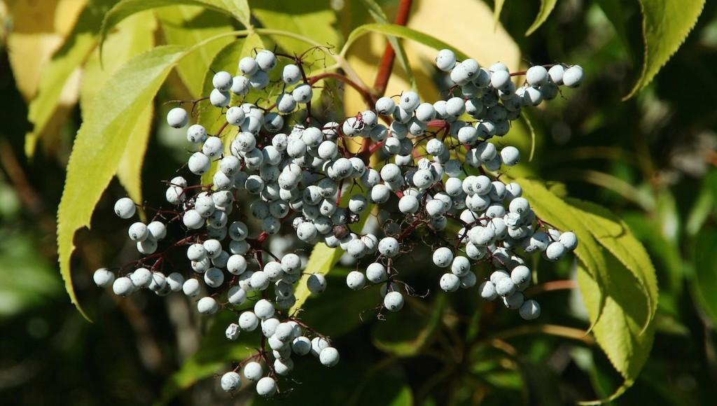 Elderberry a versatile plant throughout history