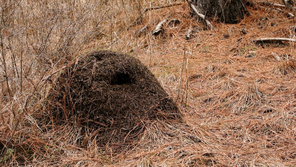 Ant hills only a portion of the nest