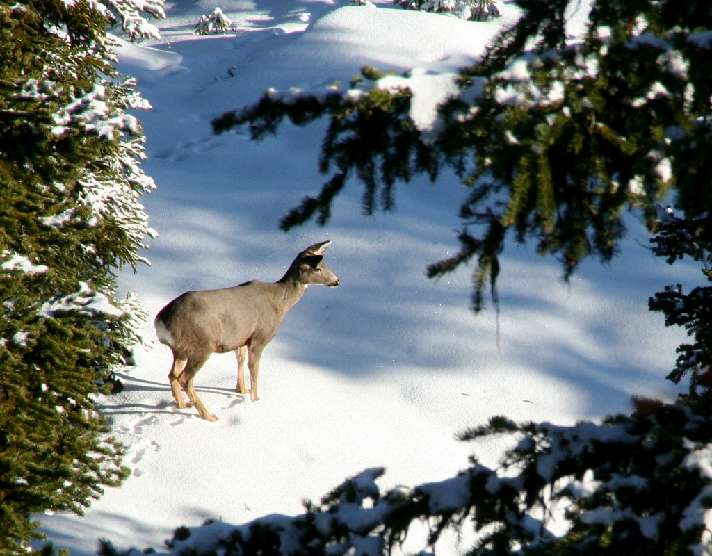 snow deer animals foot trails animal winter deep mule advantage take depth feet greater movement leave than area idaho becomes