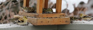 American goldfinches and pine siskins
