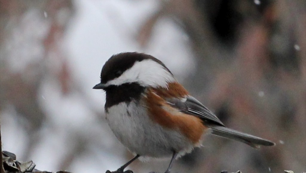 Common birds to visit your feeder