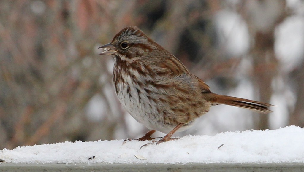 Less colorful birds visiting feeders