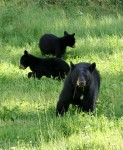 """Delayed implantation ensures a female black bear has enough """"reserves"""" to care for her cubs. A nursing female can lose up to 40 percent of her body weight over winter compared to 15 to 25 percent for a non-nursing female. If a female's body doesn't have the reserves her body will abort the fetuses before implantation."""