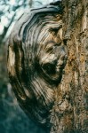 Burls form on nearly every species of tree including cottonwood trees. This burl resembles a woman's face.