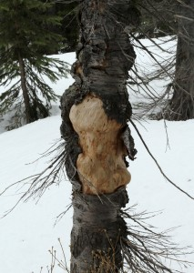 Almost all burls are covered by bark, even underground, unless the tree is dead.