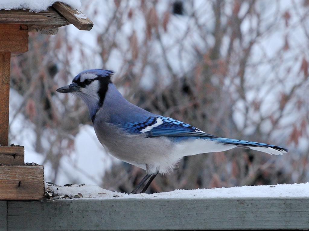 Larger birds visiting your feeder – Naturally North Idaho